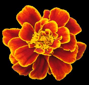 TL-Marigold-1009-